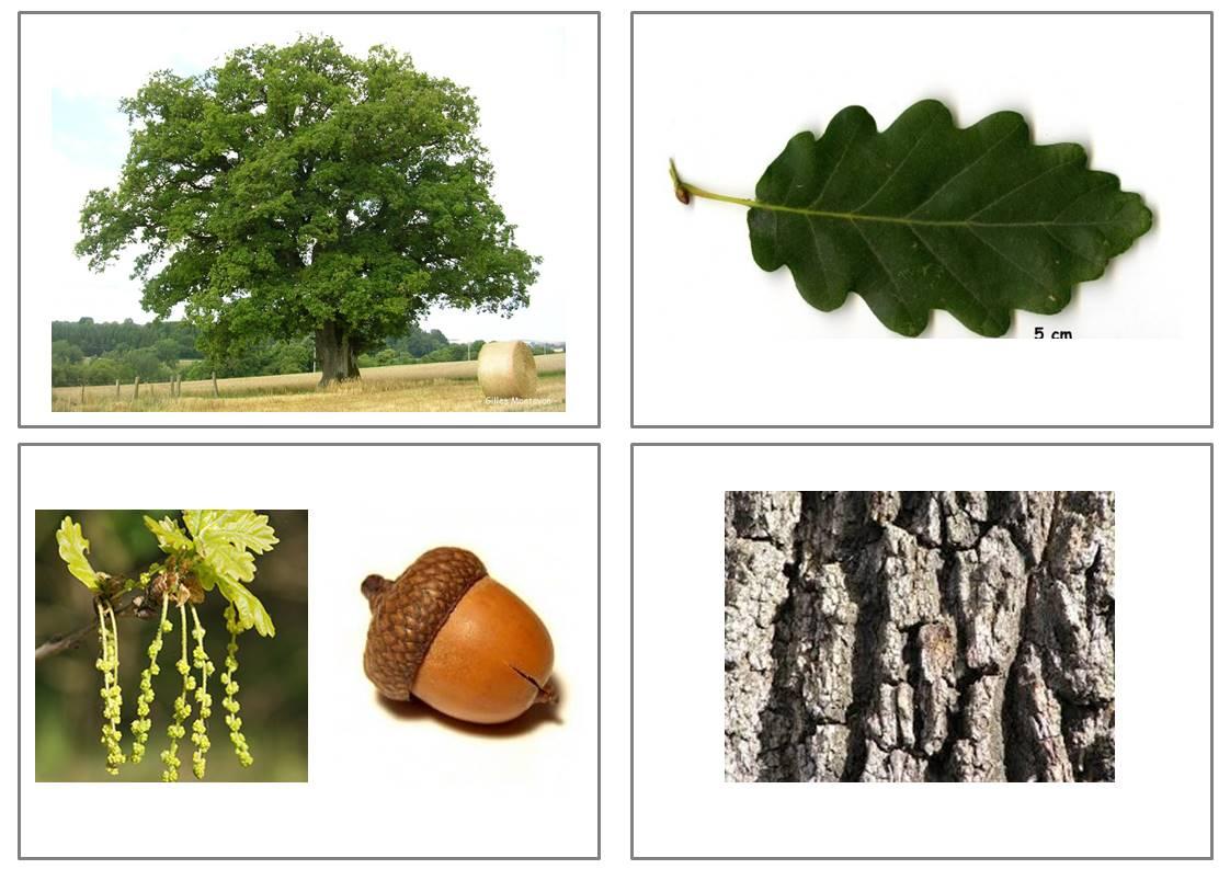 reconnaissance des arbres gr ce aux feuilles tronc fleurs fruits. Black Bedroom Furniture Sets. Home Design Ideas